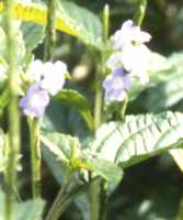 Jamaica Vervain Flower Essence