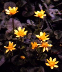 Marsh Marigold Flower Essence