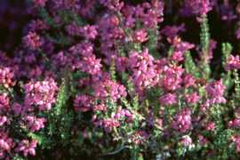 Mountain Heather Flower Essence