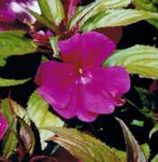 New Guinea Impatiens Flower Essence