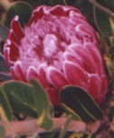 PINK PROTEA Flower Essence